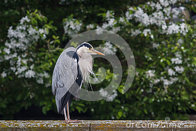 Heron sitting on the edge of canal in Muiden