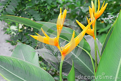 bird of paradise Beautiful yellow flower