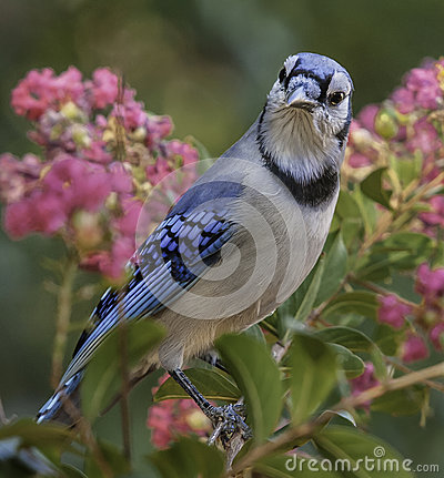 Bluejay in Crepe Myrtle