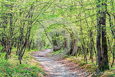 A vanishing path leading through the trees in a sunny summer forest. A beautiful scenic landscape