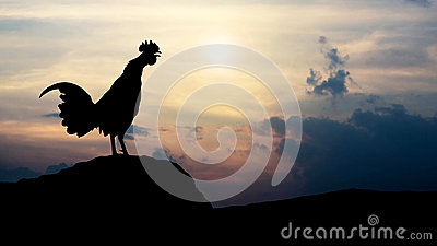 Silhouettes rooster crows in the morning