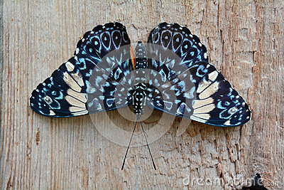 Red Cracker butterfly,aka,Hamadryas amphinome