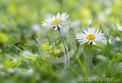 Daisy in the meadow