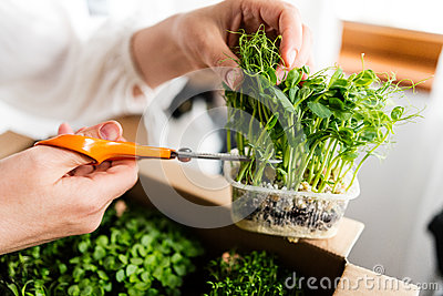 Woman cutting pea sprouts