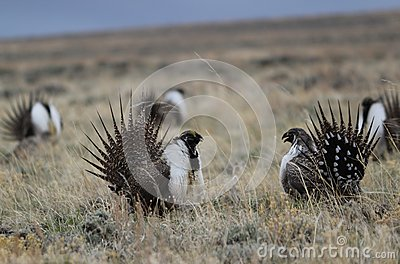 Greater Sage-Grouse Centrocercus urophasianus at a Lek in SE Wyoming. 9