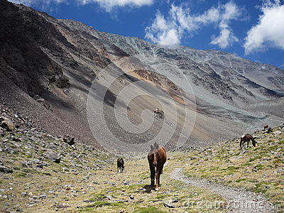 Horses in Argentinian Andes