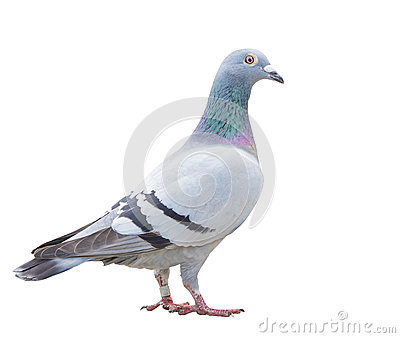 Close up fulll body of speed racing pigeon bird isolate white ba