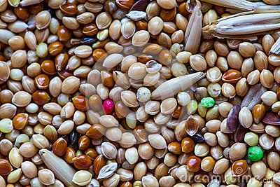 Food for birds. Close up Seeds of cereals. Canary seed. Food for parrots for every day. Abstract background