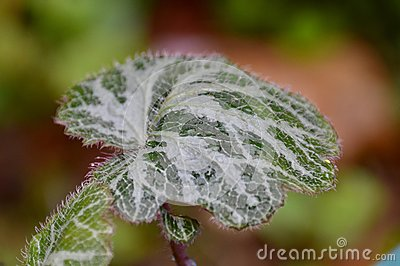 Watery leaf
