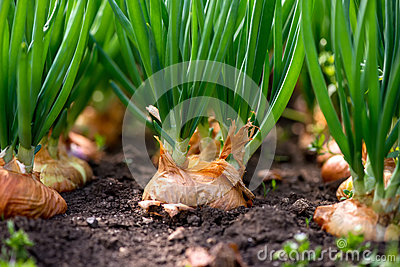 Close-up of onion plantation in a hothouse