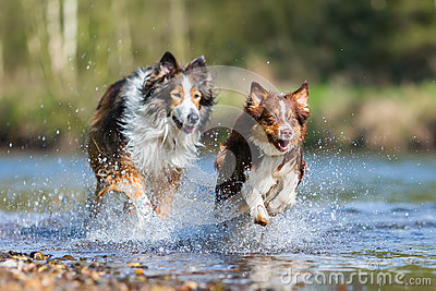 Collie-Mix dog and Australian Shepherd running in a river