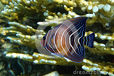 Halfcircled or Koran Angelfish