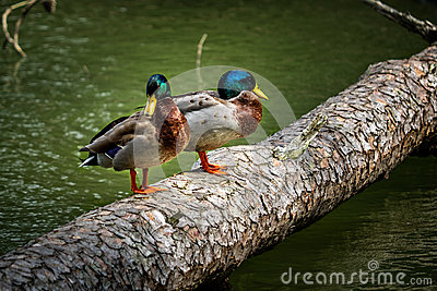 Two Mallard Ducks Standing on a Log