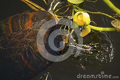 Red-bellied cooter turtle in Florida`s Everglades National Park.