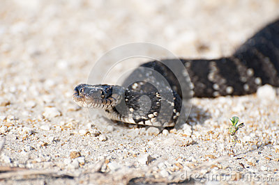 Water Moccasin aka Cottonmouth Head