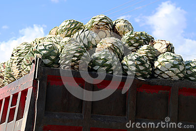 The hart from Agave plant to make Mescal or Mezcal