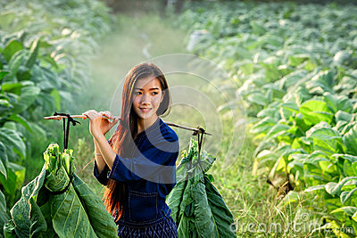 Lao women carry tobacco leaf to market