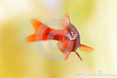 Beautiful red fish on soft green background. Male barb swimming tropical freshwater aquarium tank. Puntius titteya