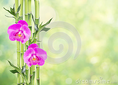 Lucky Bamboo and two orchid flowers on natural green background