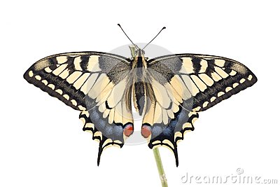 Old World Swallowtail Papilio machaon butterfly perched on a twig all on a white background