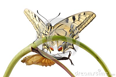 Old World Swallowtail Papilio machaon butterfly perched on a branch next to the cocoon from which they hatched