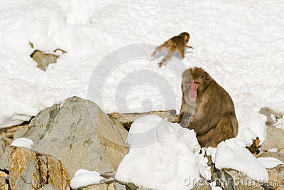 Large, Male Wild Snow Monkey Sitting in Snow