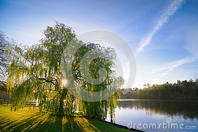 Sunrise Through a Willow Tree On A Blue Lake