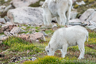 White Big Horn Sheep - Rocky Mountain Goat