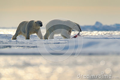 Pair polar bears with seal pelt after feeding carcass on drift ice with snow and blue sky in Arctic Svalbard. Seal fur coat in pol