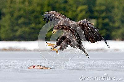 White-tailed Eagle with catch fish in snowy winter, snow in forest habitat, landing on ice. Action wildlife winter scene from Euro