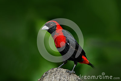 Crimson-collared Tanager, Ramphocelus sanguinolentus, exotic tropic red and black song bird form Costa Rica, in the green forest n