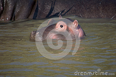 Hippo baby in south africa st lucia