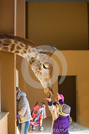 Young giraffe and beautiful little girl at the zoo. Little girl feeding a giraffe at the zoo at the day time. Child, cute giraffe