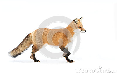 Red fox Vulpes vulpes with bushy tail isolated against a white background walking in the fallen snow in Algonquin Park, Canada