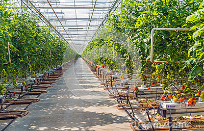 Long path in a large glasshouse with hydroponically grown tomatoes