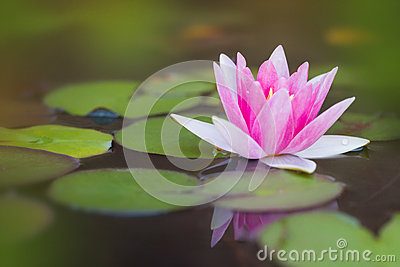 Pond with pink water lily