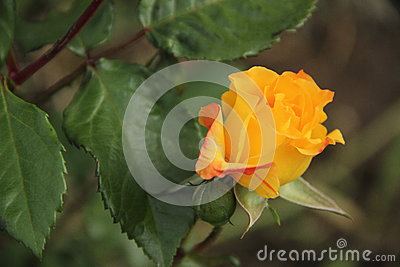 Beautiful yellow orange rose flower in the garden