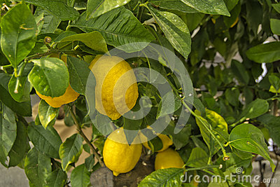 Lemon tree with yellow lemons an green leaves - Citrus limon