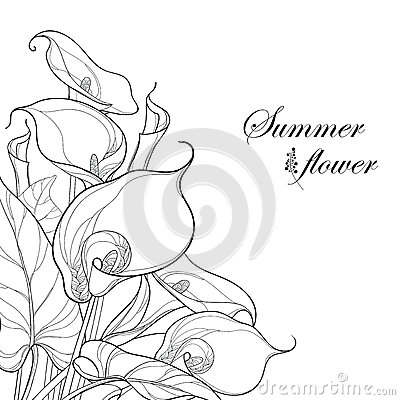Vector bouquet with Calla lily flower or Zantedeschia in black on white background. Corner composition in contour style.