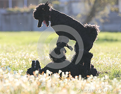 Standard Poodles playing