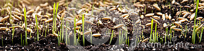 Sowing and planting seeds and germ buds on soil