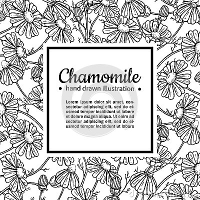 Chamomile vector drawing frame. Isolated daisy wild flower and leaves. Herbal engraved style illustration.