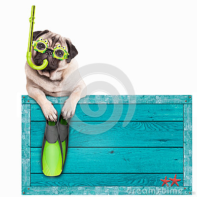 Pug dog with blue vintage wooden beach sign, with goggles, snorkel and flippers for summer, isolated on white background