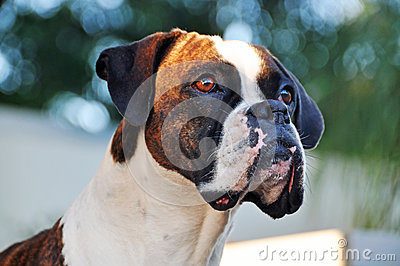 Close-up portrait brindle and white purebred Boxer dog