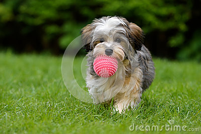 Playful havanese puppy brings a pink ball in the grass