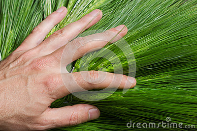 Hand on green wheat