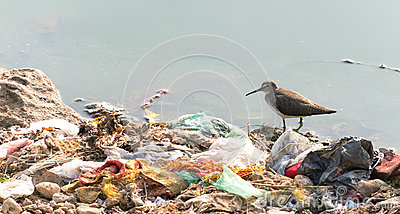 Long billed dowitcher struggling to survive due to pollution.