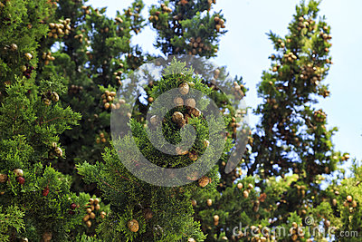 Cones on a cypress tree