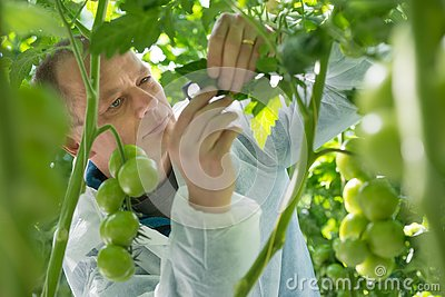 Confident male scientist wearing protective clothing while examining leaf of tomato plant in greenhouse
