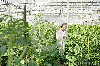 Young female scientist researching on tomato crops in greenhouse